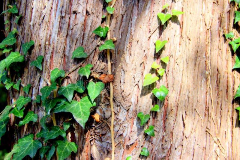 Hera verde na árvore na floresta da mola imagens de stock royalty free