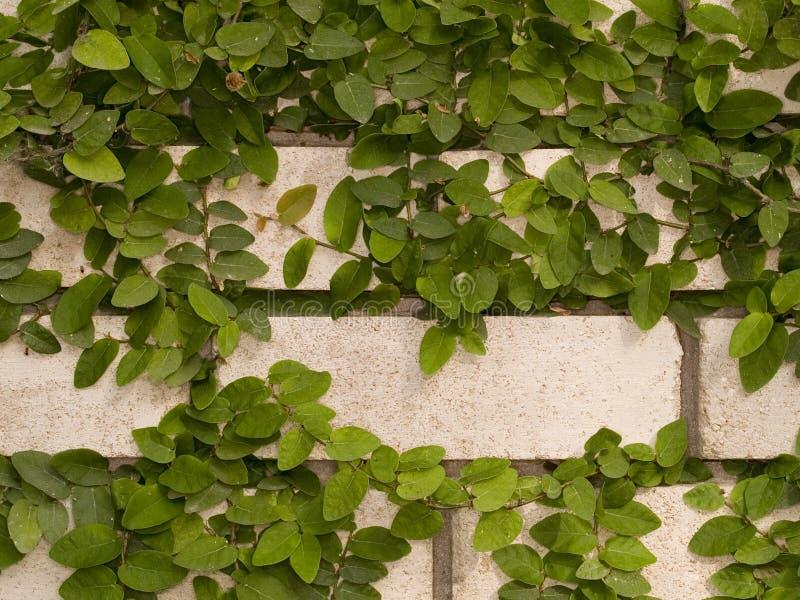 Hera verde na parede imagens de stock