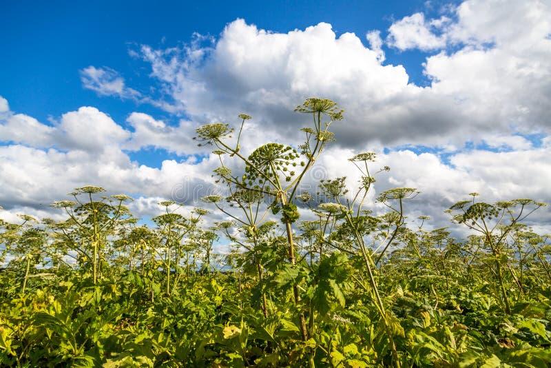 Heracleum Sosnowskyi on blue sky background stockfotografie