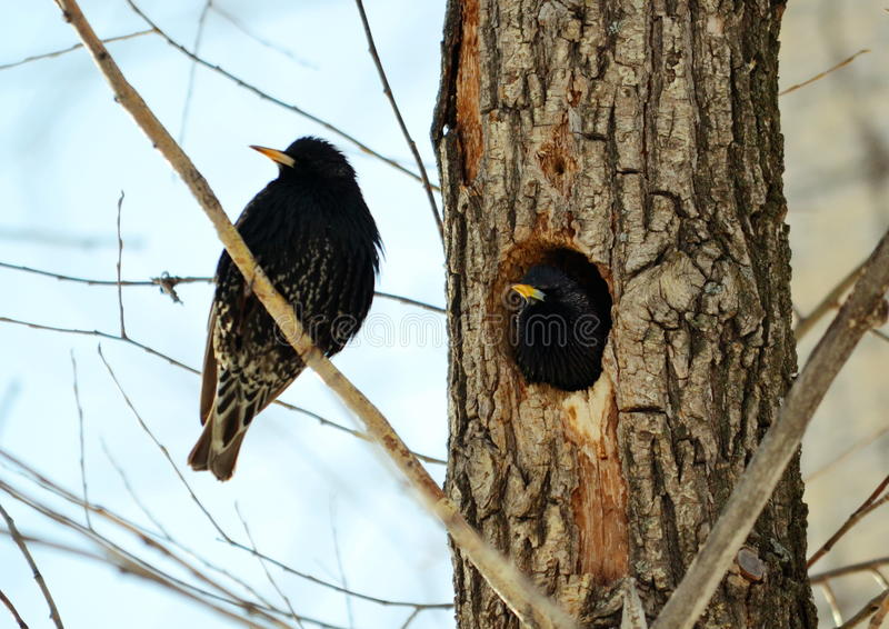Heralds of the springtime. Springtime starling прилетают with south to remove nestling stock photos
