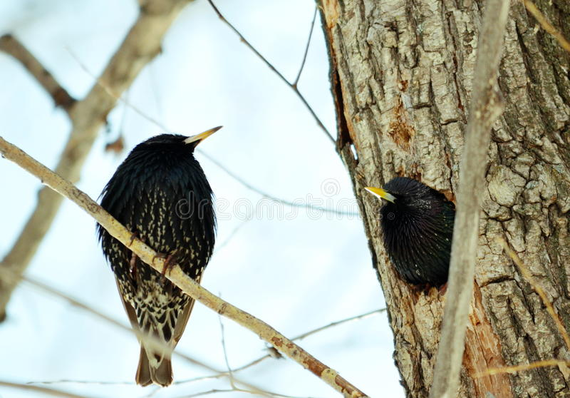 Heralds of the springtime. Springtime starling прилетают with south to remove nestling stock image