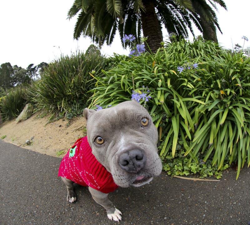 Herauf Abschluss mit einer Türspionslinse zu einem blauen Nasenhund lizenzfreies stockbild