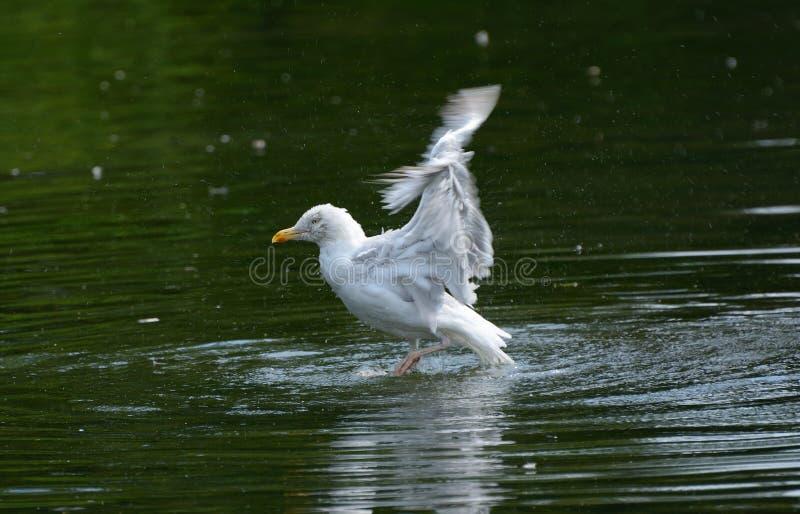 Herauf hohes und weg! Silbermöwe Larus argentatus, das versucht, sich vom See zu entfernen stockfotografie