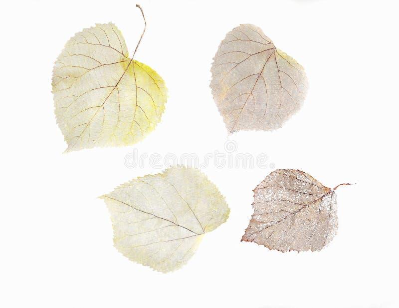 Herbário das folhas de esqueleto secadas da árvore e do Linden de vidoeiro fotografia de stock royalty free