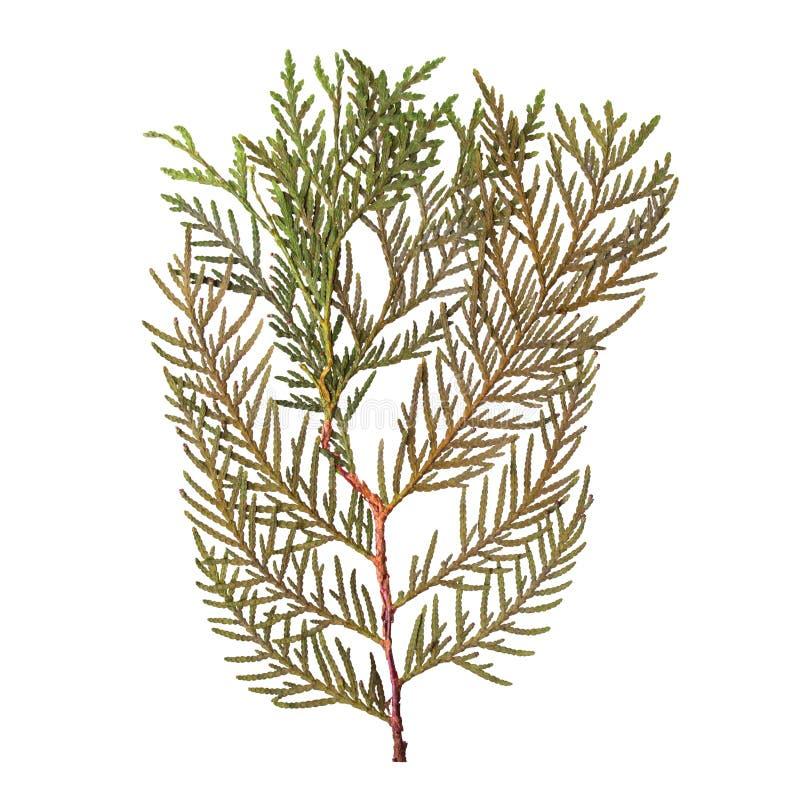 Herbário dos ramos secados e pressionados do abeto isolados no fundo branco Vista de acima fotos de stock royalty free