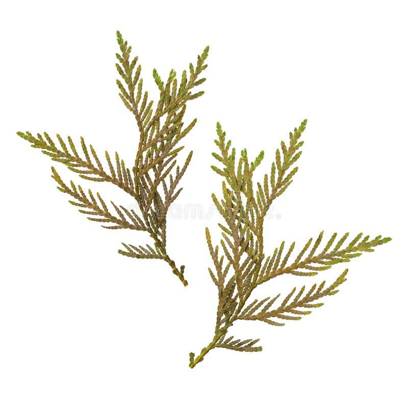 Herbário dos ramos secados e pressionados do abeto isolados no fundo branco Vista de dois lados imagem de stock royalty free
