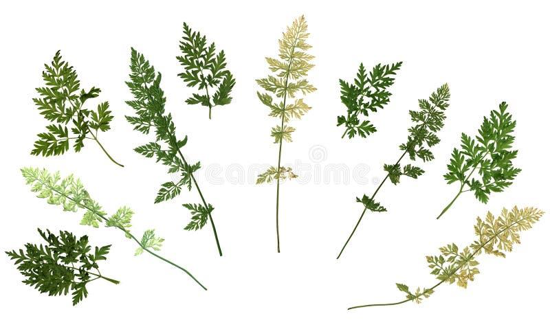 Herbário secado pressionado da grama de prado isolado no fundo branco imagens de stock