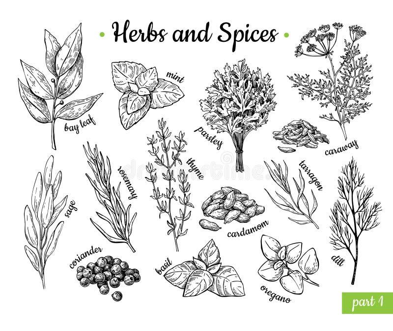 herb czosnków bay kardamonowi liści pieprzowe spice waniliowe rosemary soli Ręka rysujący wektorowy ilustracja set Grawerujący st ilustracji