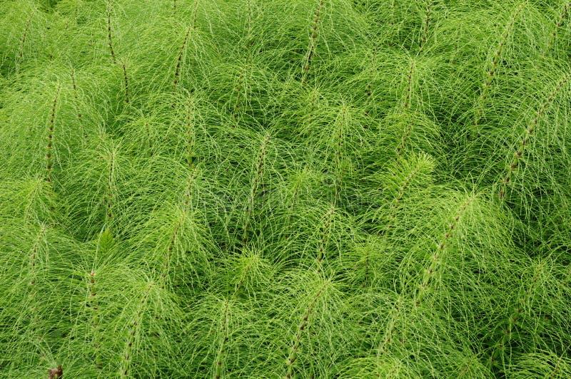 Herb Field-Horsetail stockfoto
