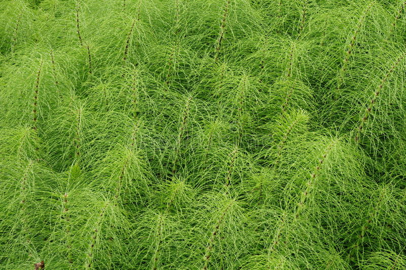 Herb Field horsetail stock photo