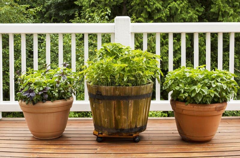 Herb Garden casero que contiene la hoja plana grande Basil Plants fotografía de archivo libre de regalías