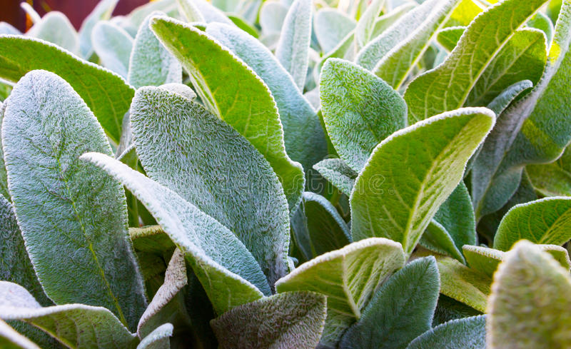 Herb Lambs ear. A beautiful perennial herbaceous plant with velvet leaves stock photo