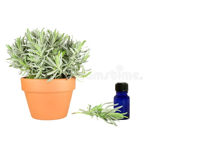 Herb Lavender royalty free stock photo