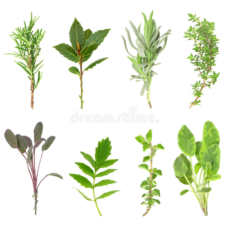 Herb Leaf Sprigs. Fresh herb sprigs of rosemary, bay, lavender, thyme, purple sage, valerian, oregano and variegated sage set against a white background. In royalty free stock photos