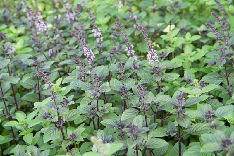 Herb: mint royalty free stock photography