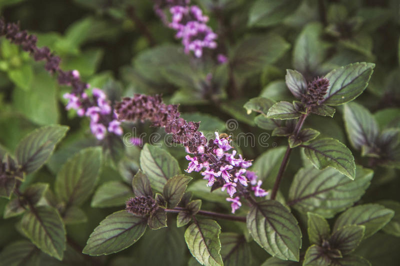 Herb: Mint stock photography