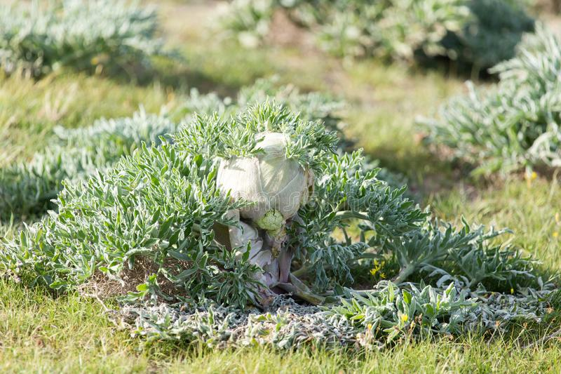 Herb on nature royalty free stock images