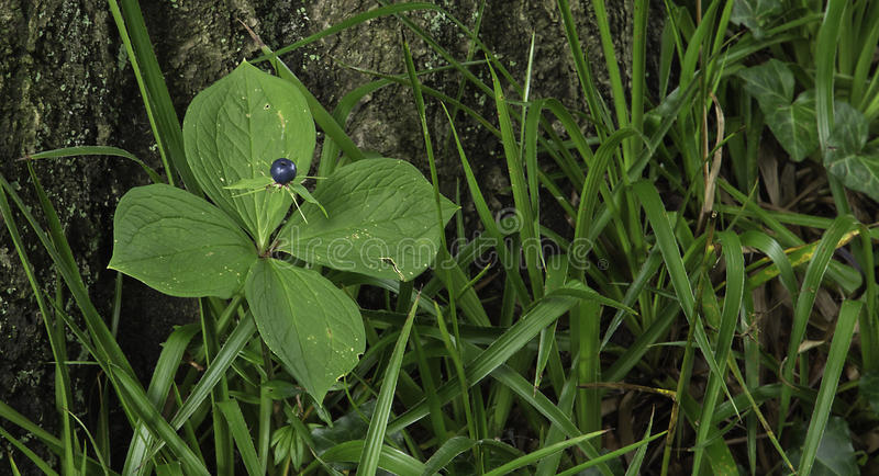 Herb Paris, True Lover's Knot royalty free stock photography