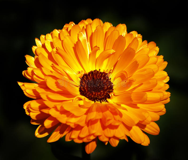 Herb pot marigold. Flowering on black stock photo
