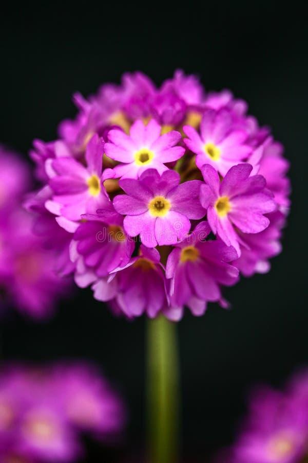 Herb Robert, robertianum de géranium, wildflower s'élevant en Lancashire, Angleterre photos libres de droits