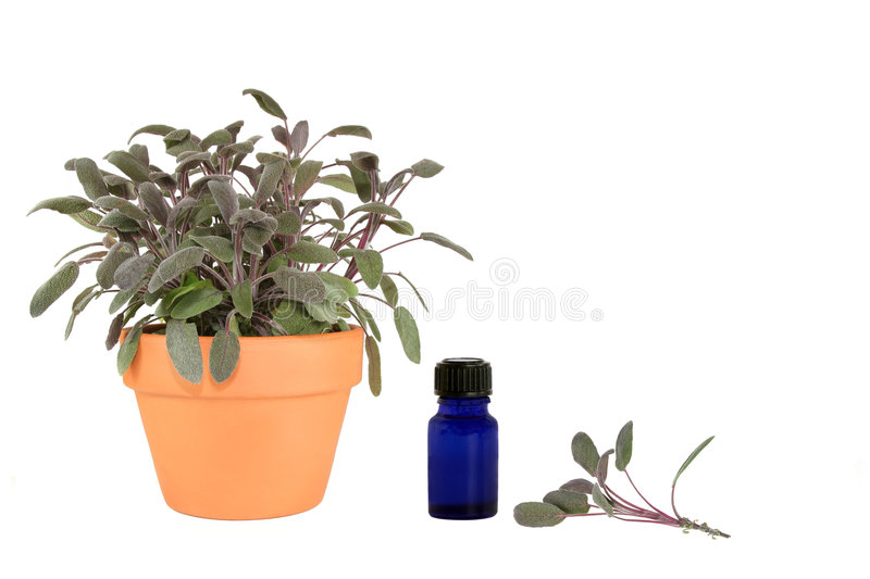 Herb Sage stock photo