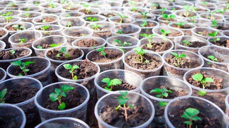 Herb seedlings growing in cans. Herbs seedlings growing in cans royalty free stock images