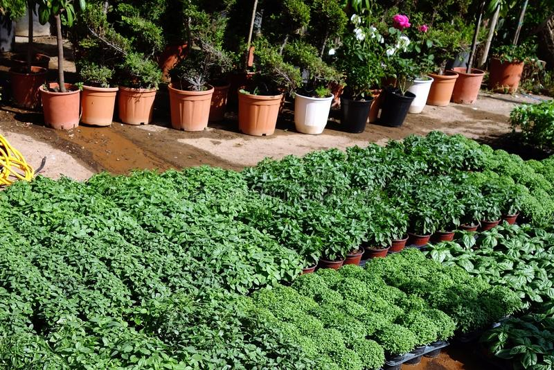 Herb Seedlings in Installatiekinderdagverblijf royalty-vrije stock afbeelding