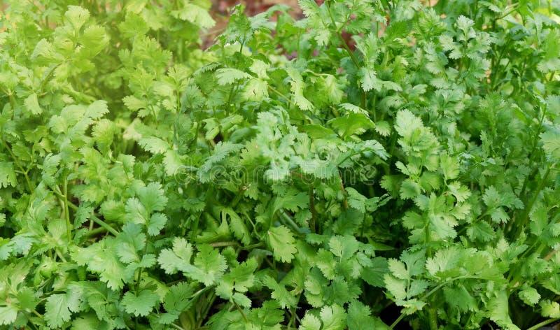Herb Series Coriander /Cilantro immagini stock libere da diritti
