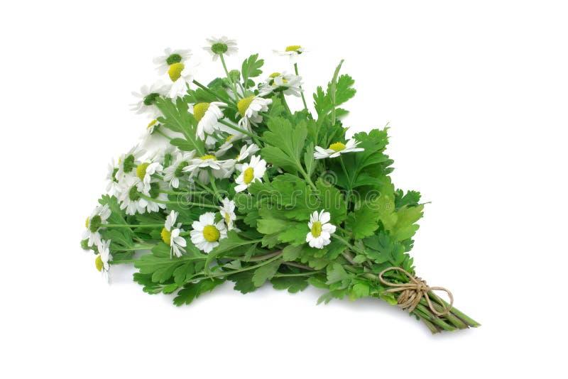 Herb Series Feverfew royalty free stock photo