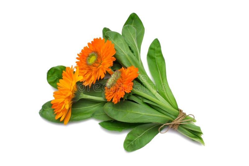 Herb Series Pot Marigold. Calendula officinalis - Pot Marigold - edible medicinal herb royalty free stock image