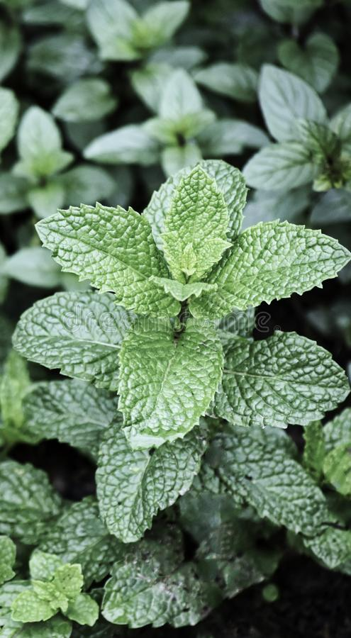 Herb, Spearmint, native to the Balkan Peninsula and Turkey. Spearmint is used for its aromatic oil, called oil of spearmint stock images