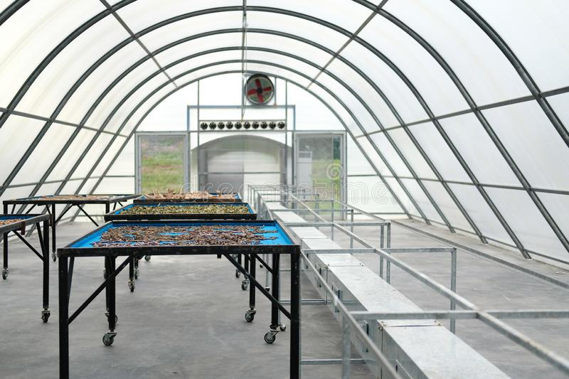 Herb spice drying in sun solar dryer greenhouse by sunlight stock photo