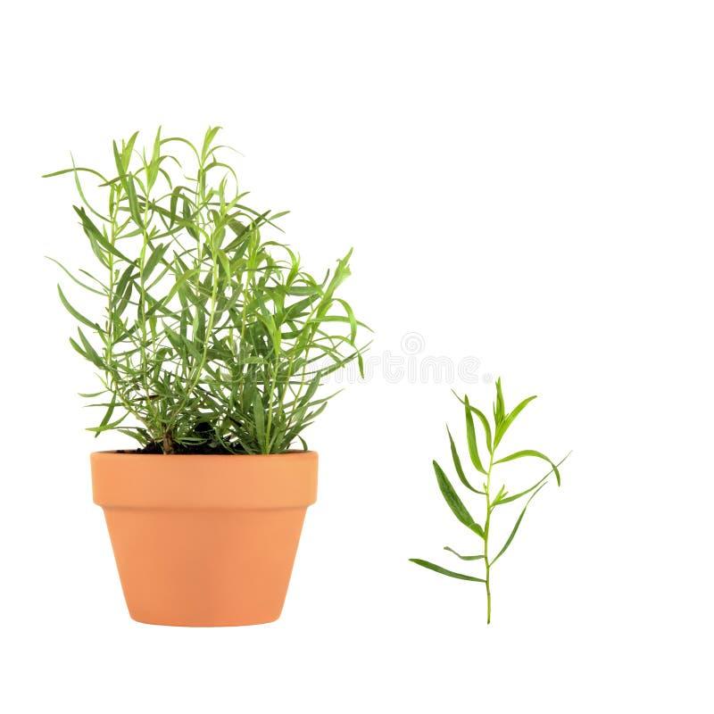 Download Herb Tarragon stock image. Image of aroma, ingredient - 7770205