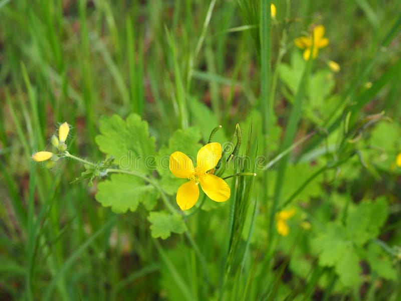 Yellow greater celandine wildflower in grass stock image