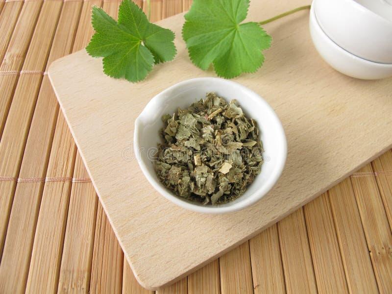 herba alchemillae γυναικείος μανδύας s στοκ φωτογραφίες με δικαίωμα ελεύθερης χρήσης