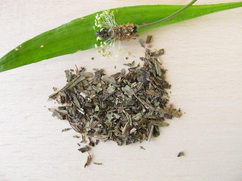 herba lanceolatae plantaginis banana ribwort zdjęcie stock