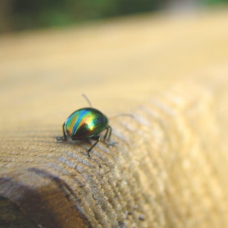 Herbacea de Chrysolina, scarabée brillant sur le bois photographie stock