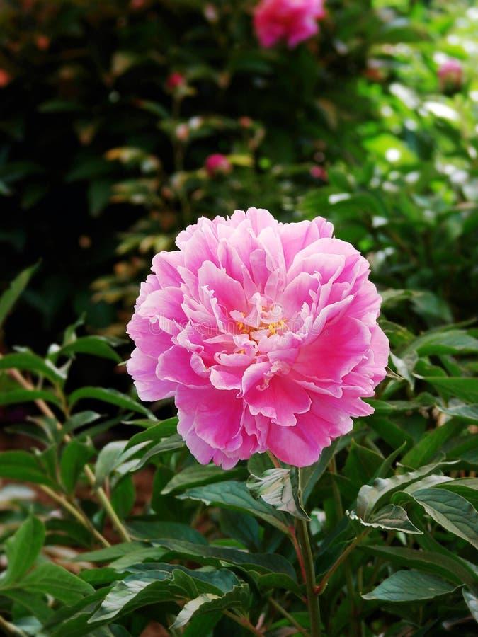Download Herbaceous пион стоковое изображение. изображение насчитывающей известно - 40581347