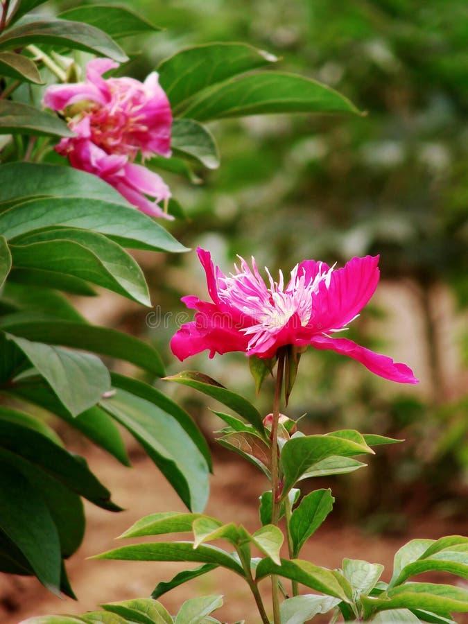 Download Herbaceous пион стоковое изображение. изображение насчитывающей ведущего - 40581383