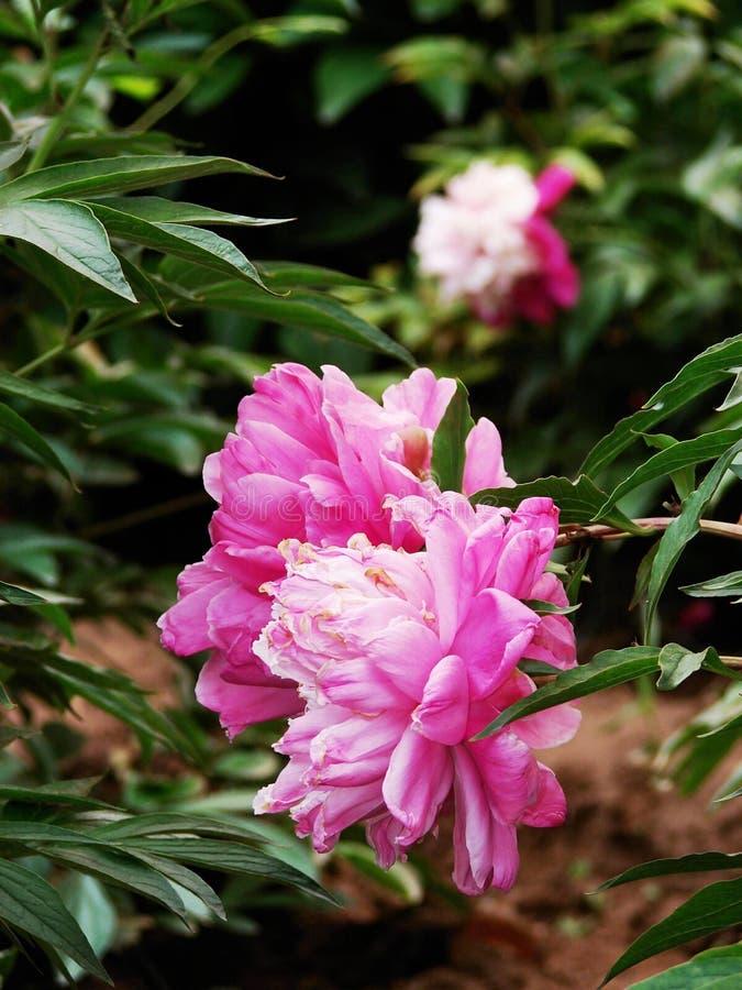 Download Herbaceous пион стоковое изображение. изображение насчитывающей влюбленность - 40581403