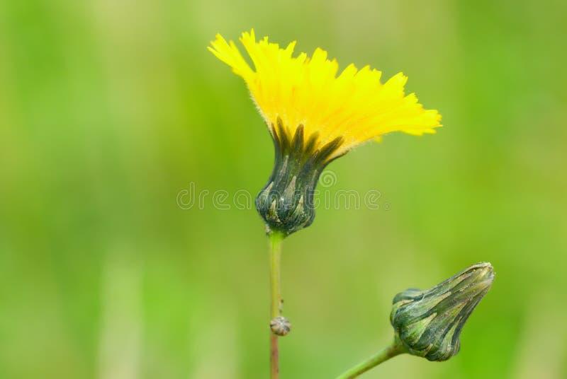 herbaceous постоянный sonchus завода стоковое фото