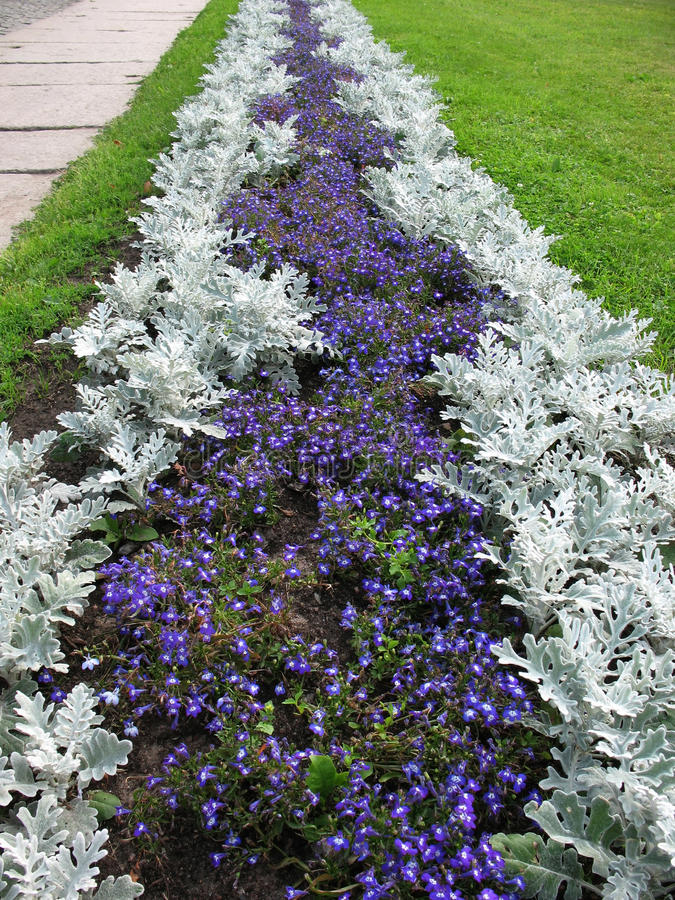 Download Herbaceous Border Of Lobelia And Cineraria Stock Photo - Image: 17686894