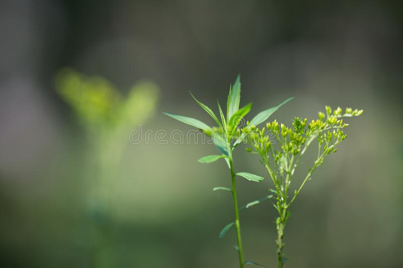 Herbaceous plant with flowers on a blurred. Background stock image