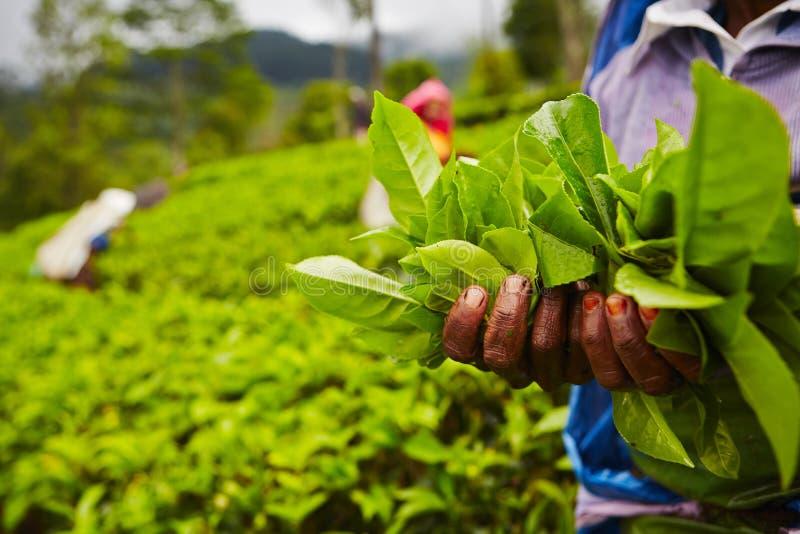 Herbaciana plantacja zdjęcie stock