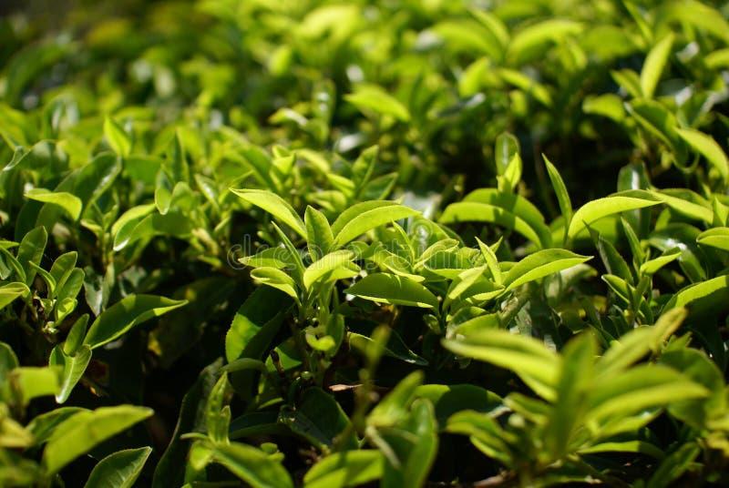 Herbaciana plantacja obraz royalty free