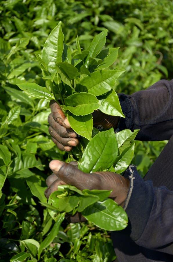Herbaciana plantacja Cameroon fotografia royalty free