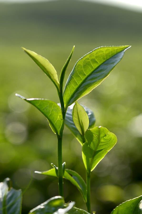 Herbaciana plantacja Cameroon zdjęcia stock