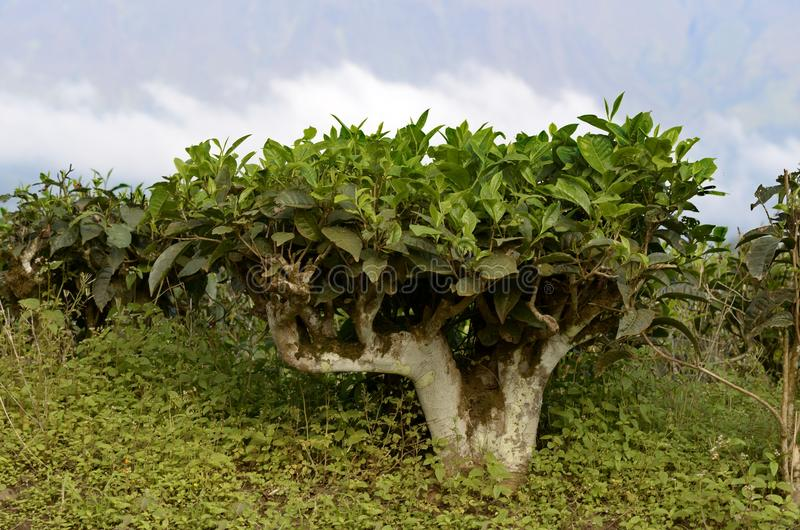 Herbaciana plantacja Cameroon obrazy stock