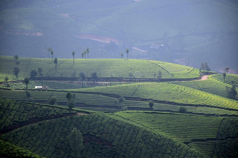 Herbaciana plantacja, Munnar obraz stock
