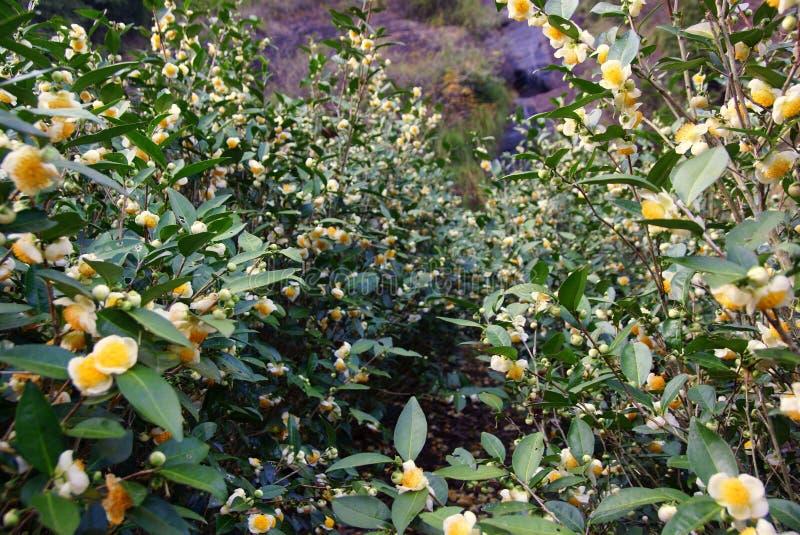 Herbaciana plantacja w Fujian prowinci, Chiny zdjęcia royalty free